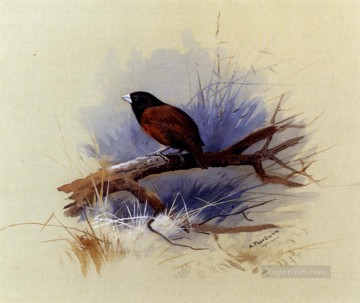 black Art - A Nepalese Black Headed Nun In The Branch Of A Tree Archibald Thorburn bird