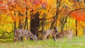deer under red leaves