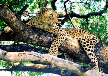 Leopard Painting - leopard on tree