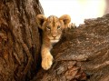Cute Lion Baby