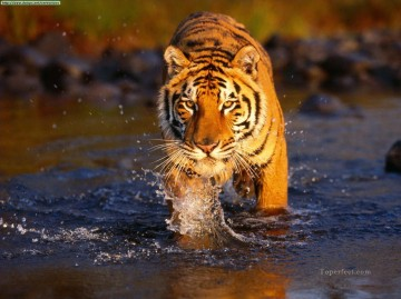 Tiger Painting - Creek Crossing river