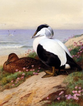 Bird Painting - Common Eider Ducks Archibald Thorburn bird