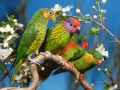colorful parrots family birds