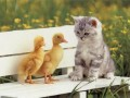 cat and ducks