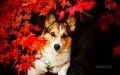Dog behind Red Maple Leaves 照片写实 摄影