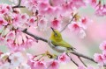 Bird Oriole in Spring Flowers 照片写实 摄影