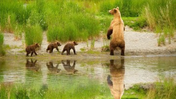 Bear Family near River in Spring Painting from Photos to Art Oil Paintings